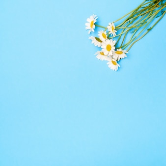 Цветки ромашки на синем фоне. плоская планировка, вид сверху, копия пространства.