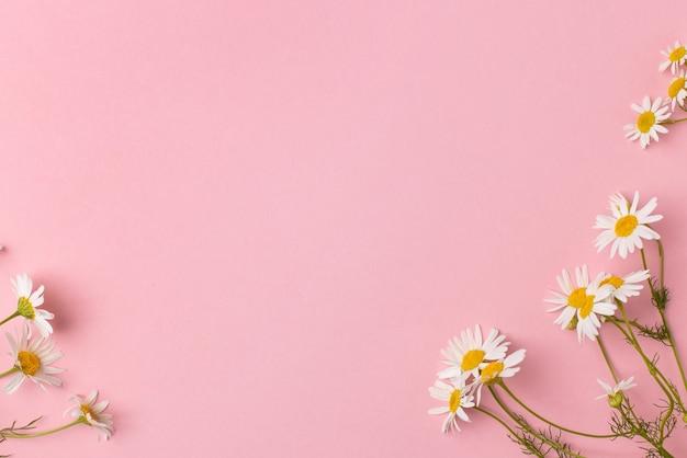 Цветки ромашки на розовом фоне. ромашки фон с копией пространства. летний фон. вид сверху поля ромашки