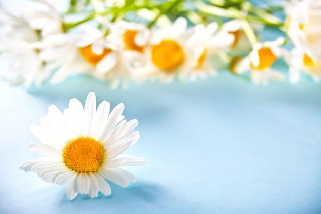 青色の背景にカモミールの花。コピースペース。春や夏の背景の概念。