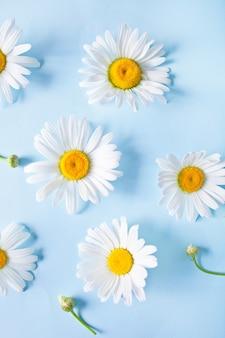 青色の背景にカモミールの花。上面図。春や夏の背景の概念。