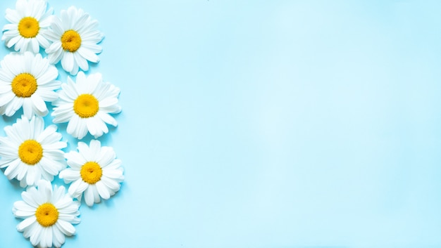 Chamomile flowers on pastel blue background with top view and copy space.