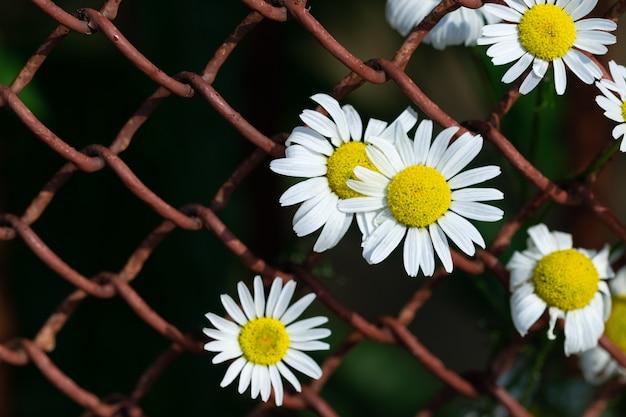 Цветы ромашки выглядывают сквозь клетки старой металлической решетки, цветок и металлическую решетку.