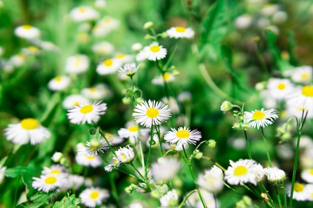 Chamomile on a green grass. naked wildflowers