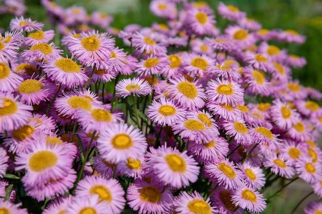 여름 정원에서 카모마일입니다. 흐린 배경에 사진 마법의 꽃