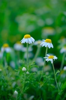 Ромашки много ромашек в поле ромашки белые и желтые цветы на зеленом лугу
