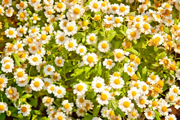 Chamomile meadow flowers.