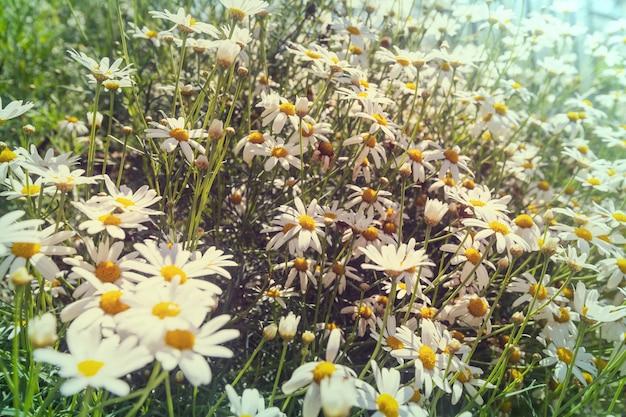 여름 시간에 카모마일 초원