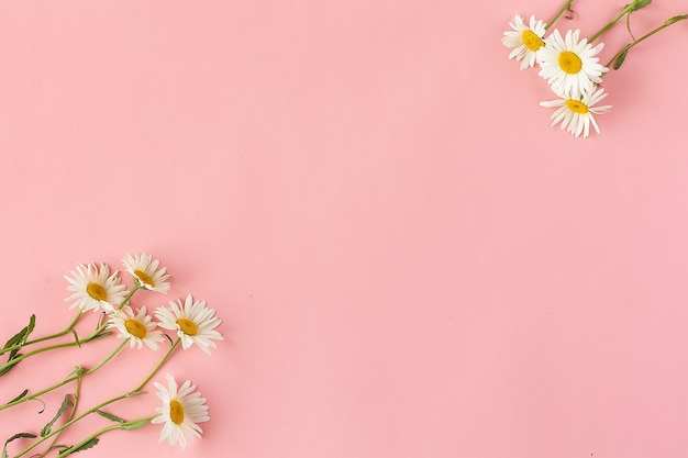 Ромашки или ромашки, изолированные на розовом фоне с обтравочным контуром и полной глубиной резкости.