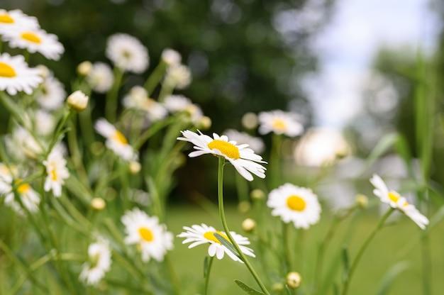 Куст белого цветка ромашки или ромашки в полном цвету на поверхности зеленых листьев