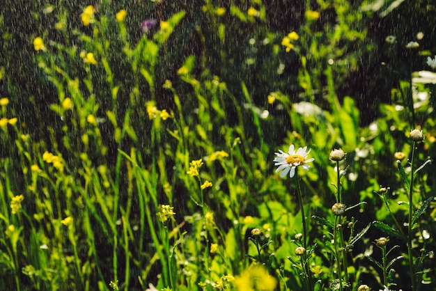 Chamomile in rainfall. daisy in heavy rain