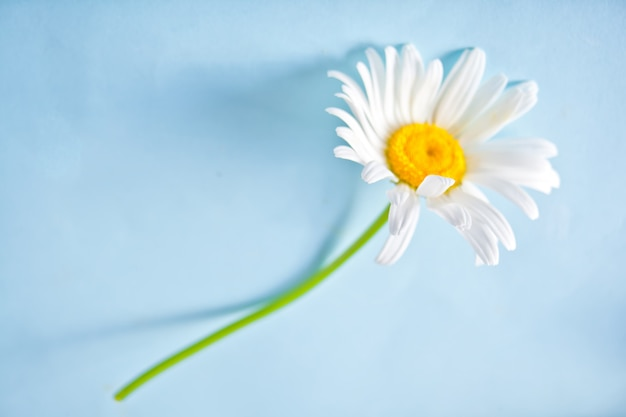 Chamomile single flower on the blue background. copy space.