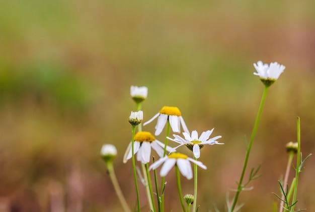Ромашка с каплями росы на осеннем поле