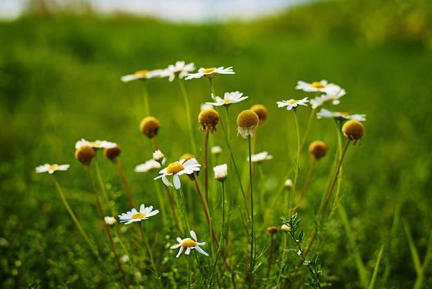 Ромашки цветки крупным планом. цветущее поле
