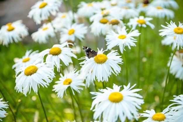 Ромашка с бабочкой. маргаритка является символом семейной любви и верности. белая ромашка, туберкулез. бабочка красного адмирала на цветке ромашки в первой половине дня.