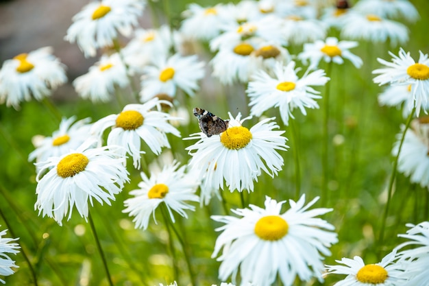 Chamomilla with butterfly . daisy is a symbol of family love and loyalty. white chamomile,tuberculosis. red admiral butterfly on the chamomile flower in the morning.