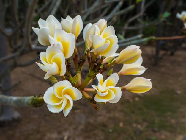 Цветок чампы расцветает в саду