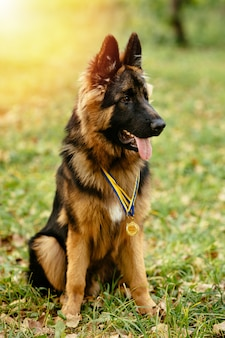 Champion german shepherd sits on grass with golden medals at sunset