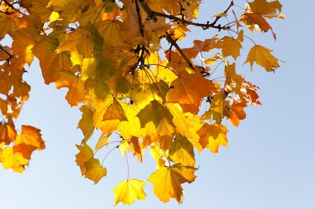 秋の森のカエデの落ち葉ではなく色が変わった