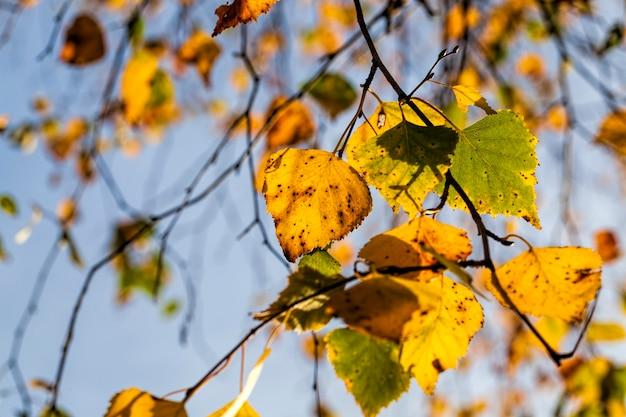 Меняя окраску березы в осенний сезон, листва березы повреждается и опадает, лиственные деревья, в том числе береза, до опадания листвы, крупный план