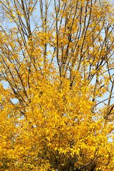 Изменение цвета клена в осенний сезон, листва клена повреждается и опадает, лиственные деревья, в том числе клен, до опадания листьев, крупный план