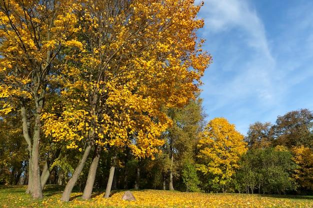 Изменение цвета клена в осенний сезон, листва клена повреждается и опадает, лиственные деревья, в том числе клен, перед опаданием листьев, крупным планом