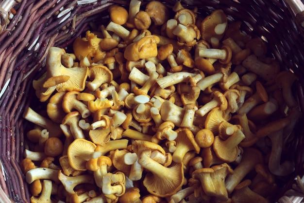 Chanterelle mushrooms in a basket
