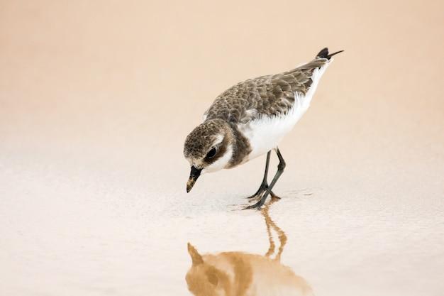 小さい砂の千鳥格子。 charadrius mongolus