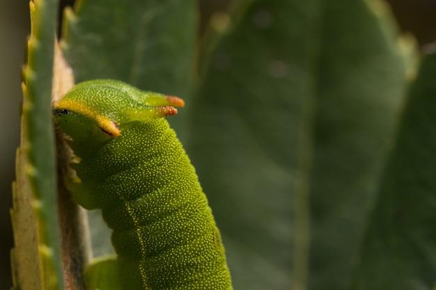 両側のパシャまたはフォクシーエンペラー(charaxes jasius)