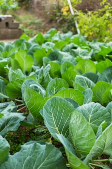 Chard cultivation