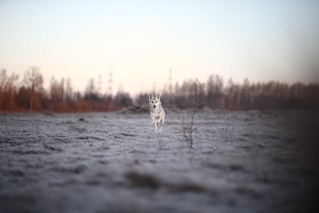 새벽에 겨울에 산책하는 카리스마 있는 개
