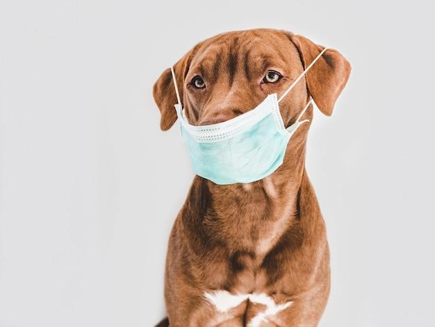 의료 마스크를 들고 매력적인, 사랑스러운 갈색 강아지. 실내, 스튜디오 촬영.