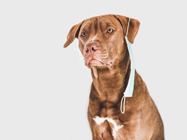 의료 마스크를 들고 매력적이고 사랑스러운 갈색 강아지