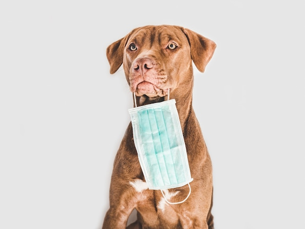 医療用マスクを持った魅力的で愛らしい茶色の子犬。