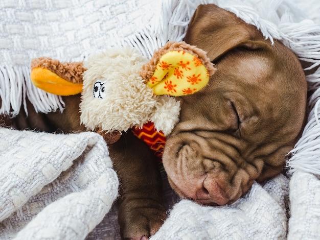 茶色の魅力的で愛らしい子犬。クローズアップ、屋内。明け。ケア、教育、服従訓練、ペットの飼育の概念