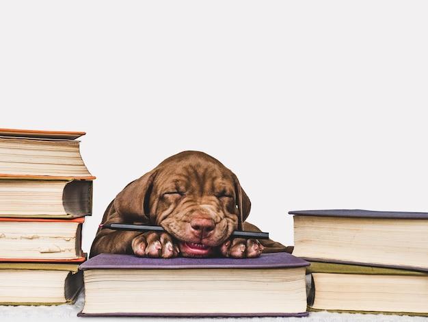 茶色の魅力的で愛らしい子犬。クローズアップ、屋内。スタジオ写真。ケア、教育、服従訓練、ペットの飼育の概念