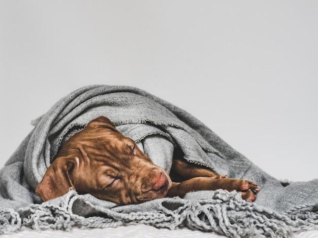 갈색의 매력적이고 사랑스러운 강아지. 클로즈업, 실내. 스튜디오 사진. 보살핌, 교육, 복종 훈련, 애완 동물 기르기의 개념