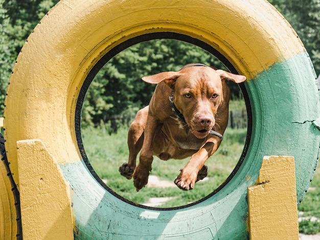 Очаровательный, очаровательный щенок шоколадного окраса.