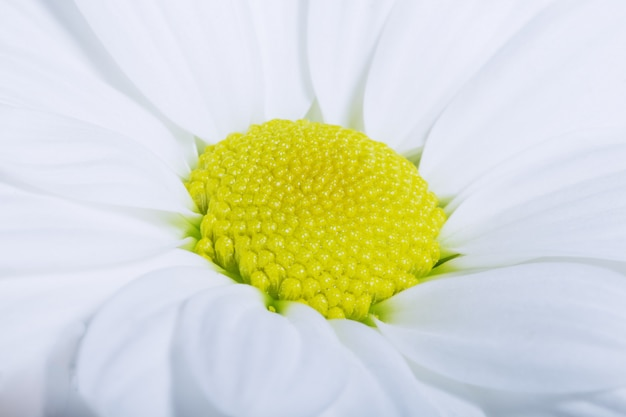 Charming chamomile macro, soft focus.