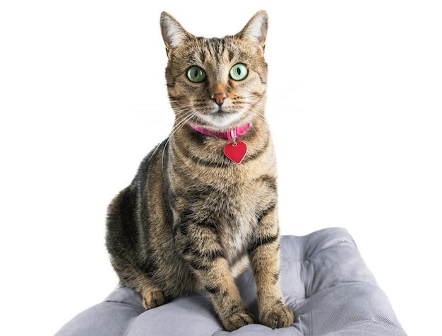 魅力的な国産のベンガル種の猫が柔らかい枕の上に座ってカメラをのぞき込みます。