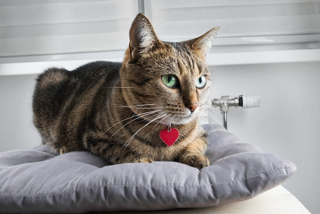 魅力的な国産のベンガル猫が柔らかい枕の上に横たわり、目をそらします。