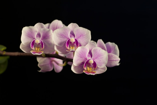 Charming flowers of a violet orchid