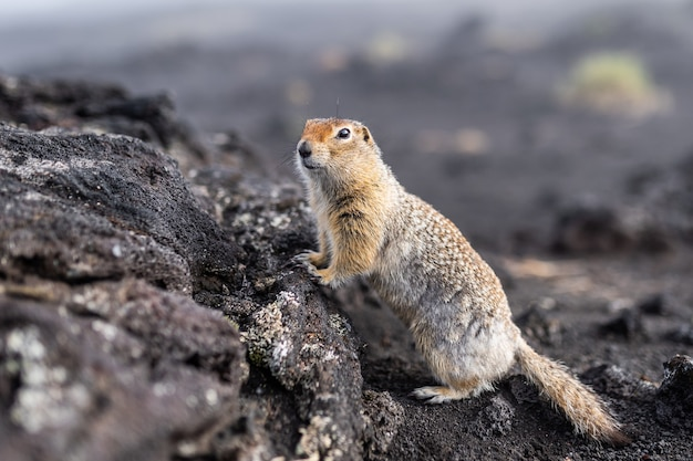 A charming ground squirrel looks into the camera, leaning on a hill