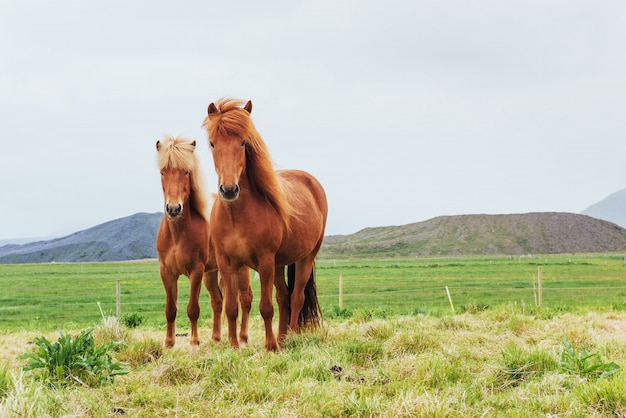 Charming icelandic horses in a pasture with mountains