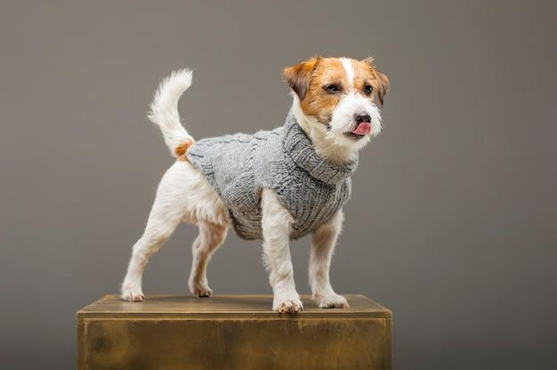 Очаровательный джек рассел позирует в студии в теплом сером свитере