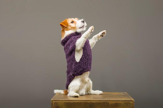 Очаровательный джек рассел позирует в студии в теплом сиреневом свитере