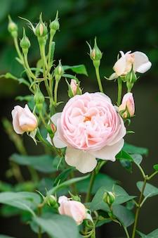 Очаровательная розовая английская роза остина в саду с закрытыми бутонами.
