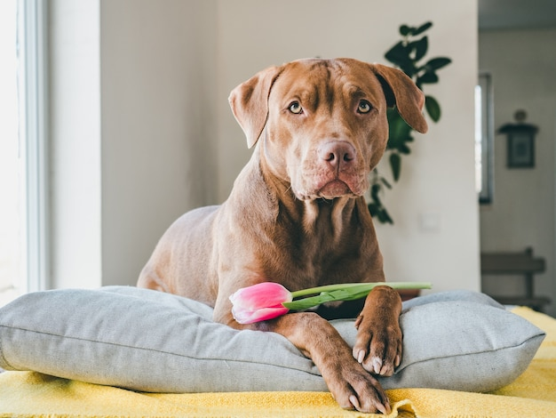 Charming puppy of brown color and bright tulip.