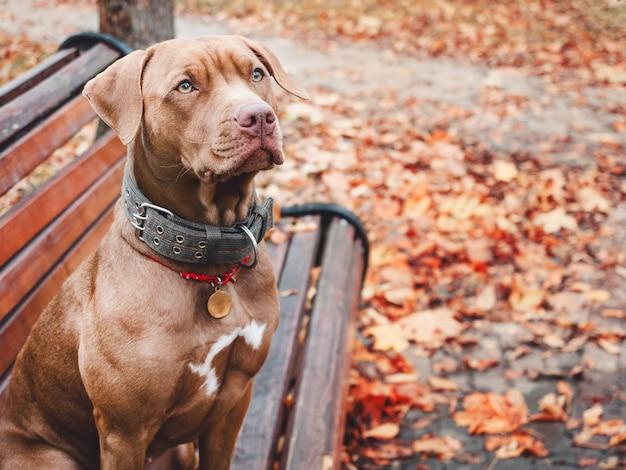 Очаровательный щенок коричневого окраса. крупный план, дачный. дневной свет. концепция ухода, воспитания, дрессировки, воспитания домашних животных