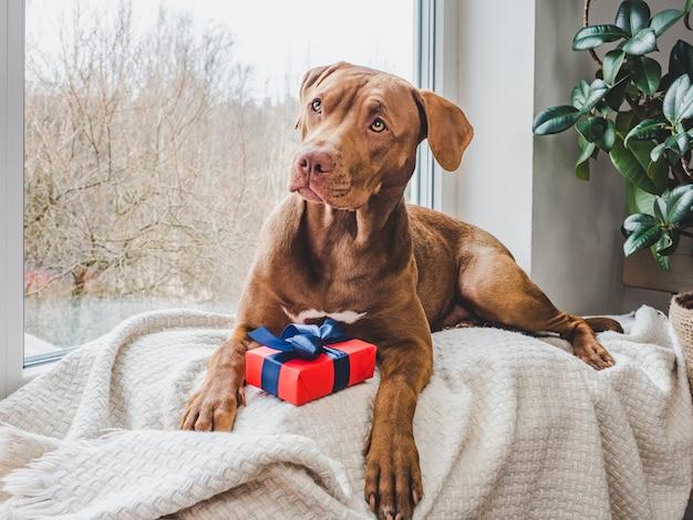 초콜릿 색상의 매력적인 강아지. 확대