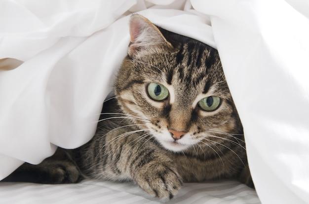 白い毛布の下から魅力的な縞模様の猫がのぞきます